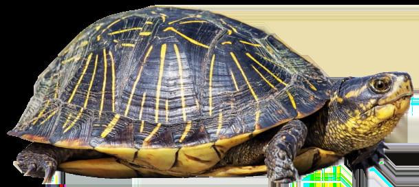 Turtle   640x422 - Cinderella Solution